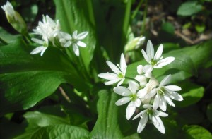 7. kép Virágzó Medvehagyma, most már nem lehet semmivel sem összetéveszteni, még a fehér virágú Kikericcsel sem, mert ha megdörzsöljük a leveleket, csak a Medvehagyma áraszt fokhagymaszagot